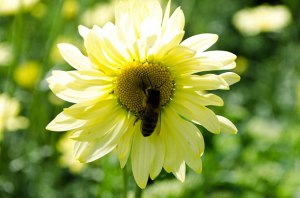 bee-on-yellow-flower2