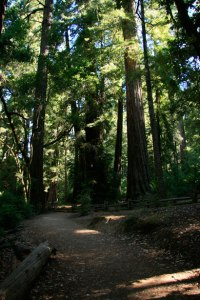 giant-redwood-trees-in-california